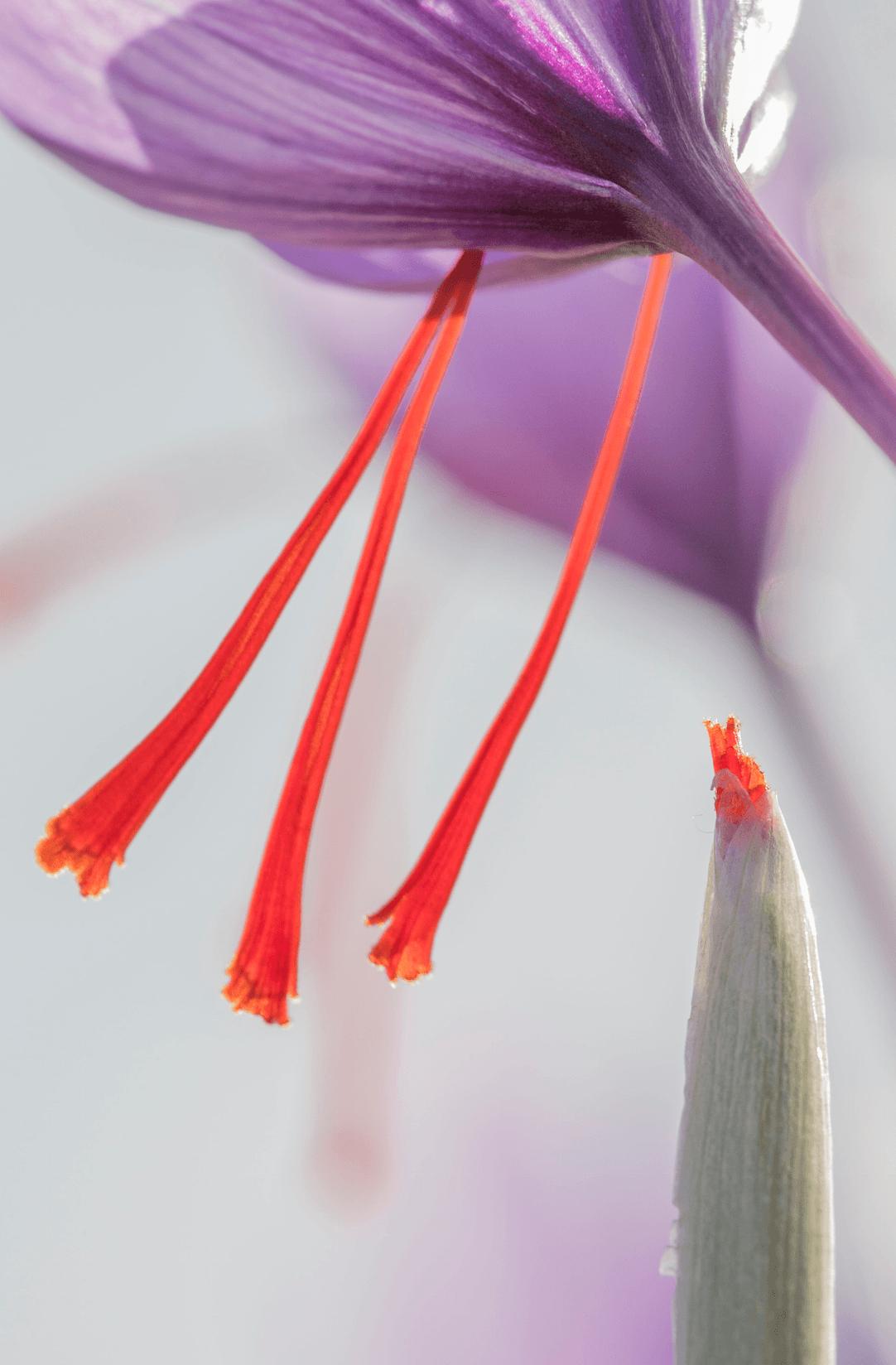 Foto de flor de azafrán y pistilos, con propiedades beneficiosas para la vista
